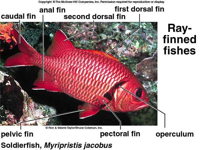 Characteristics of Osteichthyes Fish Class Bony Fish Osteichthyes