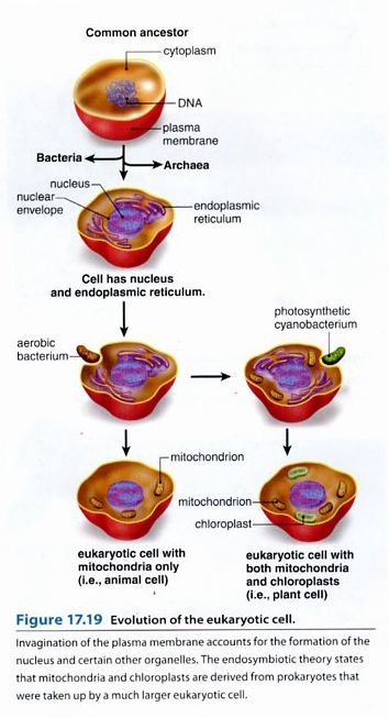 endosymbiotic theory The endosymbiosis theory is supported by the similarities between the current  bacteria and mitochondria and chloroplasts for example, both.