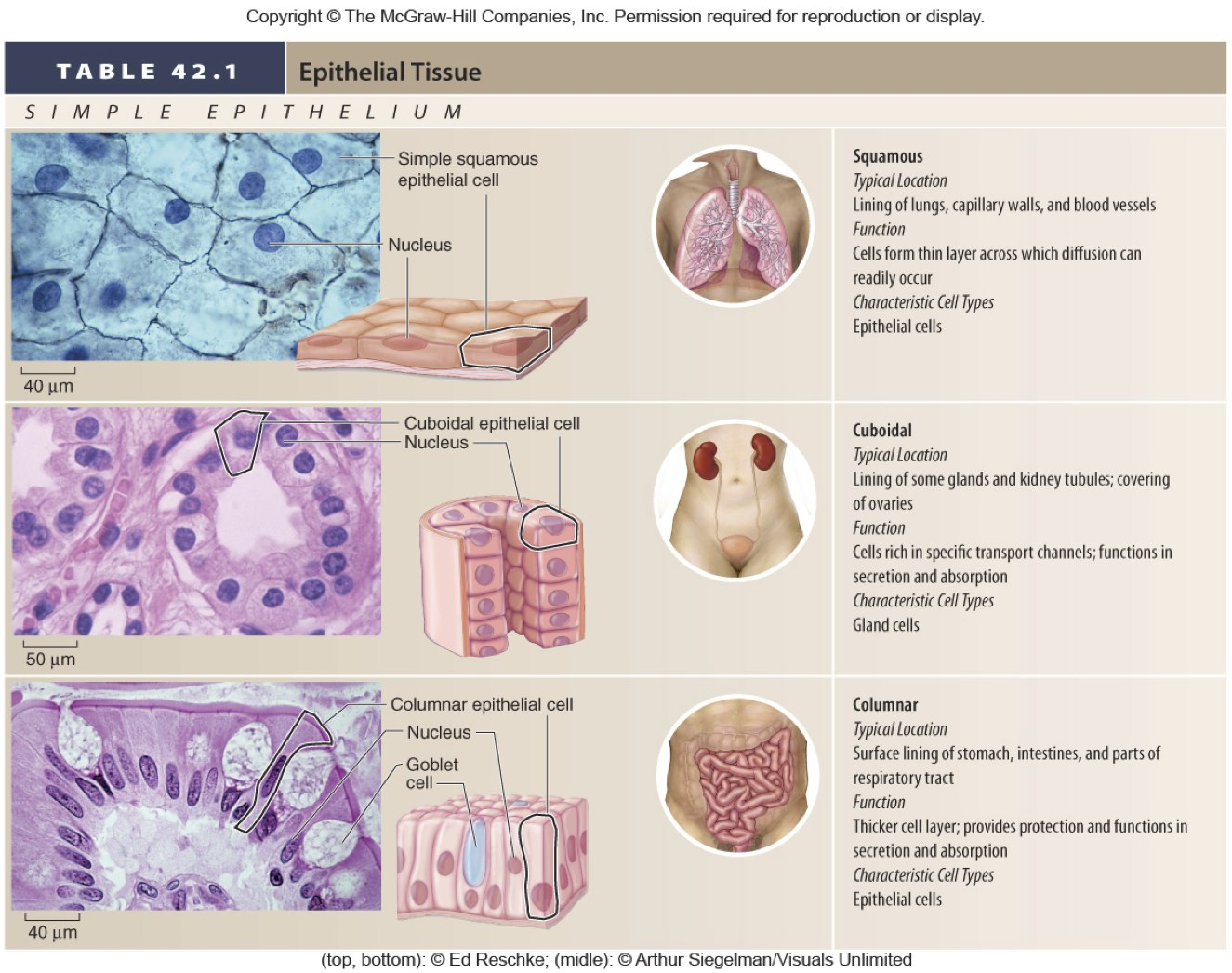 epithelial tissue functions in What is the main function of the epithelial tissue in the  what is the function of the epithelial tissue in blood  what are the functions of epithelial tissue.