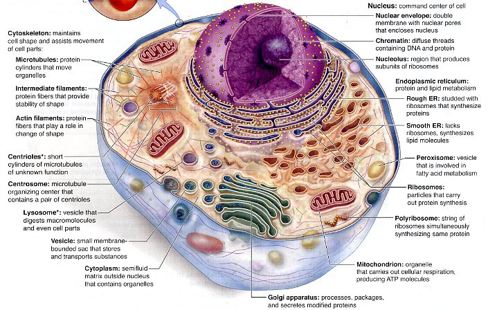 Generalized Animal Cell  Vacuole Function In Animal Cells