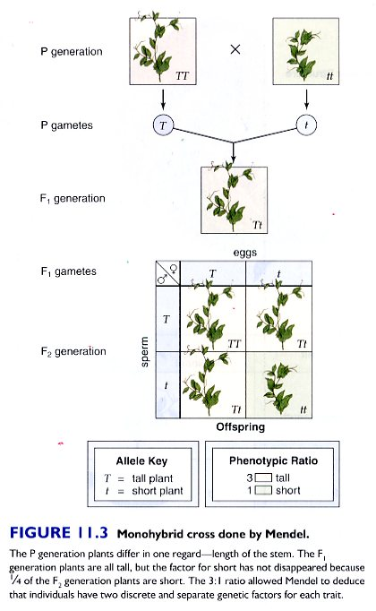 relationship between alleles and phenotype def